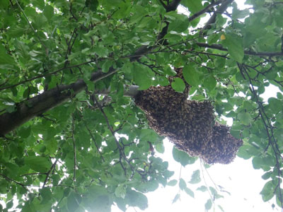 D.J. Alexander's July swarm settled onto a crabapple tree.