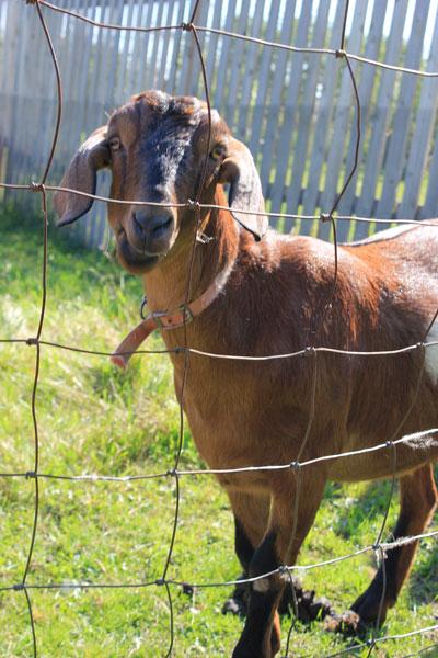 web_gibbs_goat