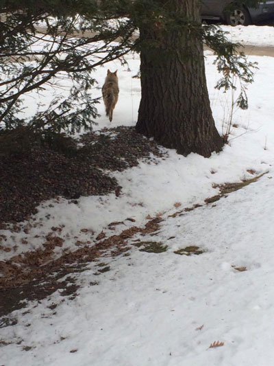 A University Grove resident took a photo of this coyote in her yard in January.