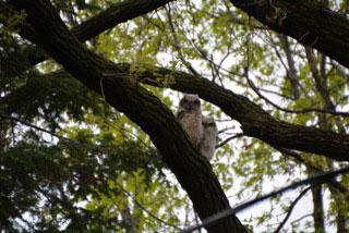 Karen Kloser caught the two owl chicks in a tree.
