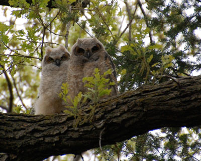 The great horned owlets (Photo by David Wark)