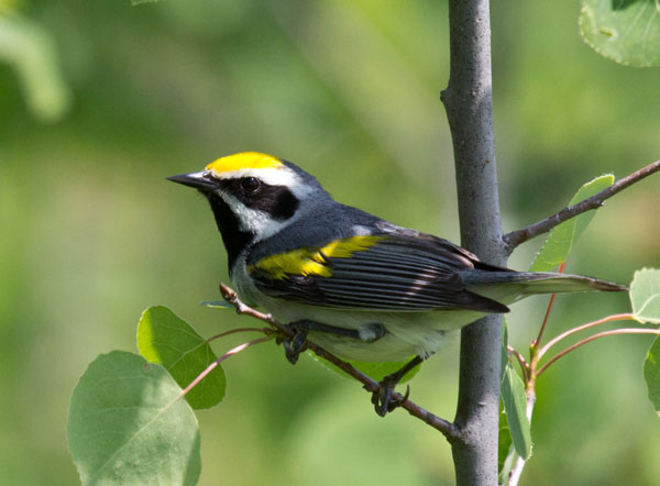 A golden-winged warbler. Photo by Laura Erickson